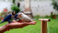 Lovebirds eating foods from guy's hand in the garden video