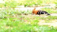 Lovely Common Hoopoe video