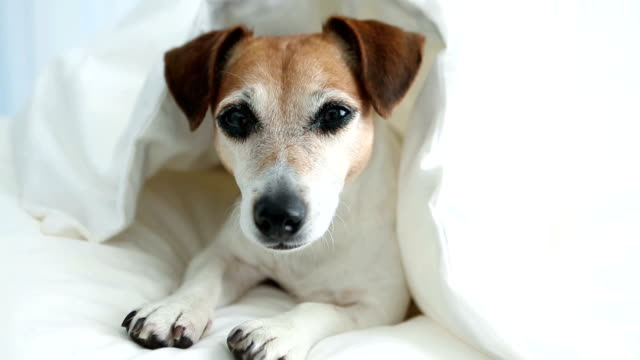 Lovely cute dog looking under White blankets. video