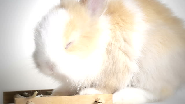 Lovely dwarf rabbit video