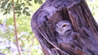 lovely little owl hidden on tree video