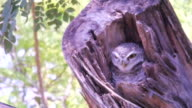 lovely owl hidden on tree video