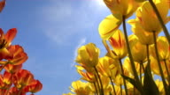 SLOW MOTION: Lovely red and yellow blossoming colorful tulips under the blue sky video