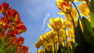 CLOSE UP: Lovely red and yellow blossoming tulips swinging under the blue sky video