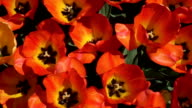 CLOSE UP: Lovely wide opened red blooming tulips swaying in gentle spring wind video