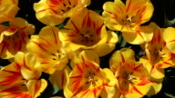 CLOSE UP: Lovely wide opened yellow blooming tulips moving in gentle spring wind video