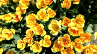 CLOSE UP: Lovely yellow and red blooming tulips swinging in soft spring breeze video