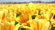 CLOSE UP: Lovely yellow and red blooming tulips swinging in soft spring wind video