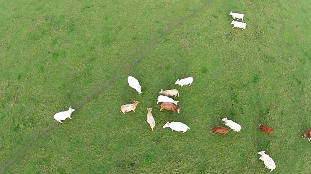 Low aerial view of young cows grazing video