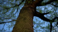 Low angle footage of tree. Turning shot of treetop. video