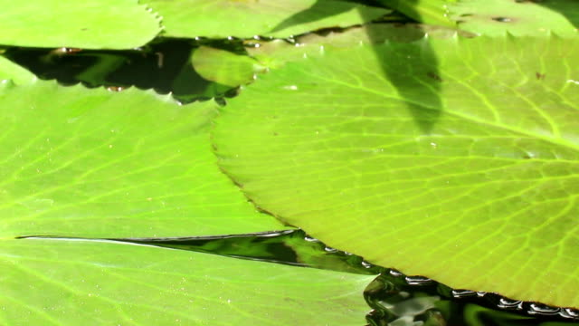 Low angle CU overlapping lily pads in Asia video