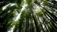 Low angle panning view of a bamboo forest video