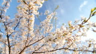 Low angle view of a blooming white cherry tree canopy video