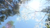 Low angle view of a blooming white plum tree canopy video