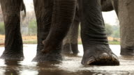 Low angle view of elephants feet and trunk while drinking in a river in the Okavango Delta video