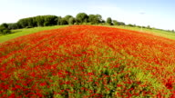 Low flight over a field of poppies video