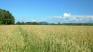 AERIAL: Low flight over golden wheat field video