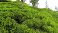 AERIAL: Low flight over green tea plantage video