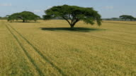 AERIAL: Low flight over wheat field in Africa video