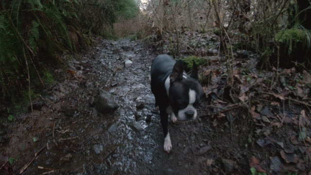 Low Steady Cam Shot of Boston Terrier Dog on Forest Hiking Trail video