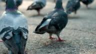 Luggage Among Pigeon Flocks video