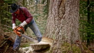 Lumberjack making a cut into the tree with chainsaw video