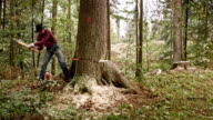 Lumberjack preparing to fell a tree using wedges video