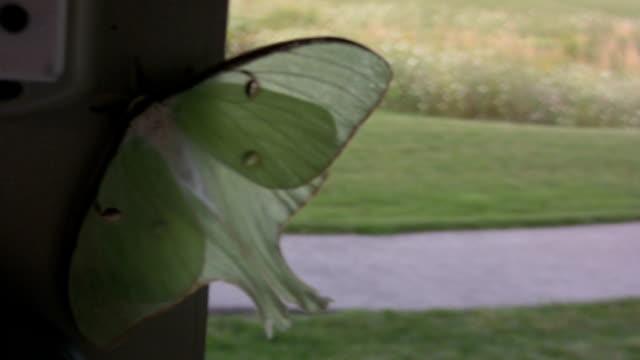 Luna Moth video