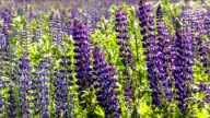 Lupine field zoom video