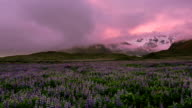 Lupine flower field with mountains. video