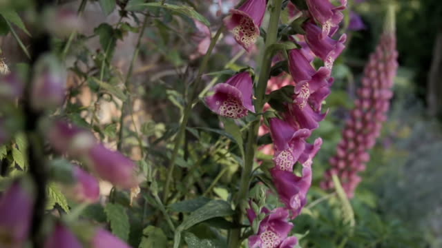 Lupines and Foxgloves in an English Garden video