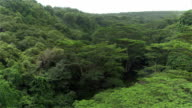 AERIAL: Lush acacia trees growing on jungle riverbanks deep in vast rainforest video
