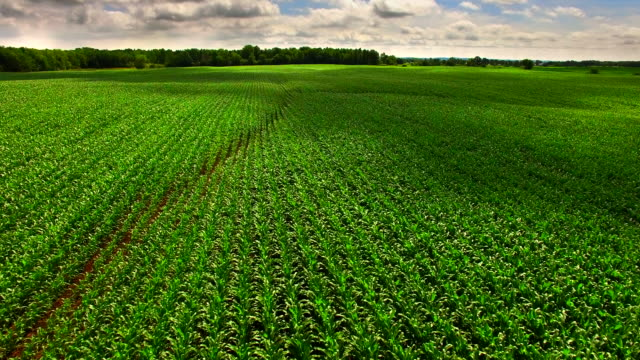 Lush Green Corn Fields of Wisconsin, Aerial Flyover video