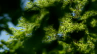 SLOW MOTION CLOSE UP: Lush green leaves in tree canopy swinging in summer breeze video