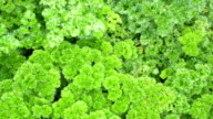 Lush Green Parsley Plant - 4K (UltraHD) video