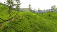 AERIAL: Lush tea plantage in Sri lanka video