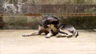 Lying dog video