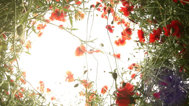 Lying in the Poppies : fish eye sky view video