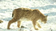 Lynx goes the snow, slow motion video