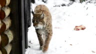 Lynx hunting in winter, slow motion video