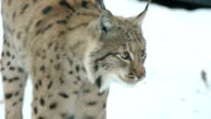 lynx in winter, close up, slow motion video