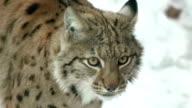 lynx in winter on snow, slow motion video