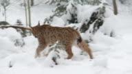 Lynx in winter video