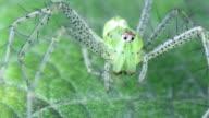 Lynx spider video