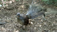 lyrebird video