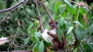 Macaque Monkey in a Tree Eating video