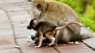 Macaque Monkey with son eating peanuts slow motion video