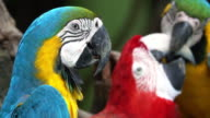 Macaw Close Up video