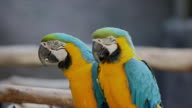 Macaw parrot. video