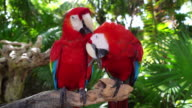 Macaw parrot couple cleaning each other video